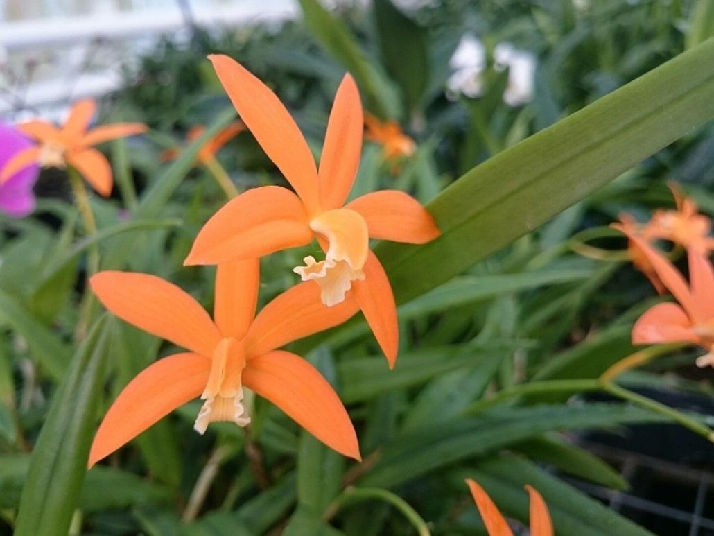 Laelia harpophylla