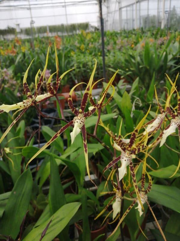 Brassia Toscana