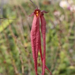 Bulbophyllum plumatum x longissimum