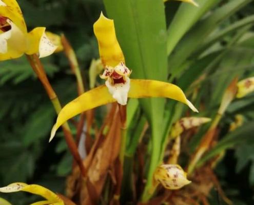 Maxillaria picta gros plan