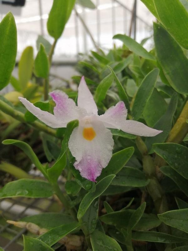 Dendrobium-spathilingue
