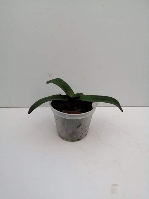 Paphiopedilum leucochilum