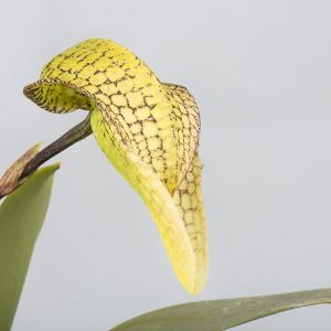 Bulbophyllum arfakianum x bufordiense