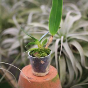 Cattleya-purpurata-var-werkhauseri