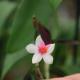 Dendrobium-cuthbersonii-x-sulawesiense-x-sulawesiense