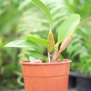 Flickingeria-fimbriata