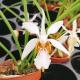 Holcoglossum lingulatum x wangii