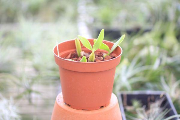 Bulbophylum scaberulum
