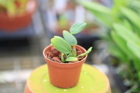 Bulbophyllum croceum