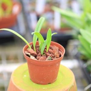 Bulbophyllum flavescens