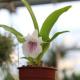 Cochleanthes amazonica x flbelliformis