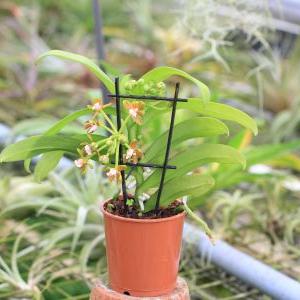 Gastrochilus acutifolius